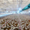 Poultry Farm Equipment for Broilers