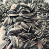 Chinese Sunflower Seeds 5009 with Top Quality for Exporting