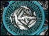 Mackerel Fish Frozen Seafood for Sale (Scomber japonicus)