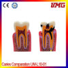 Dental Professional Teeth Model and Dental Models