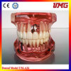 China Dental Instrument Dental Education Models