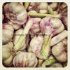 Fresh Purple & Red Garlic with Good Price