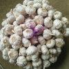 4.5-6.0cm Normal White Garlic