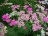 Yarrow (Achillea millefolium) Yarrow Extract