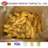 Fresh Chinese Fat Ginger with Competitive Price