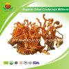 Manufacuture Supplier Organic Dried Cordyceps Militaris