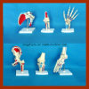 Human 6 Joint with Muscle and Ligament Painted Teaching Anatomical Model