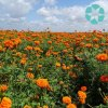 Marigold Extract / Tagetes Erecta Extract / Lutein / Zeaxanthin