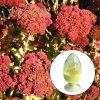 Rhodiola Rosea Rosavins 1% ~ 15% Rhodiola Rosea Extract