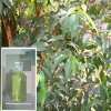 100% Natural and Pure Eucalyptus Oil