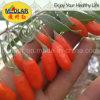 Medlar Effective Herbs Red Gojiberry