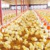 Customized Farm Equipment in Poultry House with Prefab Building Construction