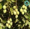 Irvingia Gabonensis Extract / African Mango Seed Extract