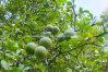 Citrus Aurantium Fruit Extract Nobiletin 98%, CAS 478-01-3