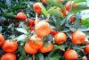 Chinese Fresh Navel Orange with Sweet Taste