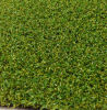 Artificial Grass for Golf Course (PG-10PP)
