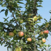 Gala Apple, Fresh Apple Crop 2016