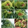 2017 Good Fresh Chestnut for Exporting