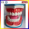 Dental Teeth Study Model/Dental Simulation