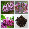 High Quality Syzygium Aromaticum / Clove Fruit Extract