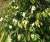 Peper Auszug Piperine, pharmazeutischer Bestandteil