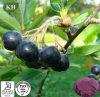 Polifenolo nero naturale puro dell'estratto di Chokeberry, antociani