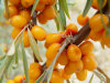 عضويّة بحث [بوكثرون] عصير مسحوق, طبيعيّة, [نون-غمو]
