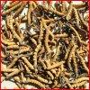 Extrato natural de 100% Yarsagumba, extrato de Cordyceps Sinensis (polisacáridos de 10%~40%)