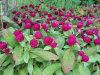 Natürliches Pflanzenkugel-Amarant-Auszug-Puder