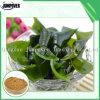 La fabbrica Dirigere-Esporta il pasto di kelp per la pianta