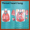 Modelo anatómico corazón-pulmón de la garganta viva caliente de la venta