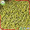 Grüne Mungobohnen für die Keimung