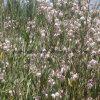 Tablettes naturelles de pollen de Venetum d'Apocynum de 100%