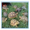 Decoração modelo personalizada do jardim dos artigos equipando da tartaruga animal por atacado do artesanato da resina da simulação