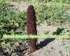 Polvere naturale dell'estratto dell'erba di Songaria Cynomorium