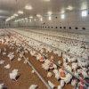 As aves domésticas controlam o equipamento da vertente para a produção da galinha (JCJX-218)
