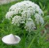 Osthole 20% -98% Snowparsley Pflanzenauszug CAS: 484-12-8