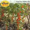 Baga secada vermelha Wolfberry orgânico de Goji da nêspera