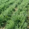 Fornire le bacche organiche di 100% Goji all'ingrosso