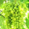 De BladMeststof van het fruit (Aminozuur Vitamin+NPK+)