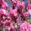 Tablettes naturelles de pollen d'abricot de 100%