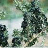 Bayas orgánicas negras del níspero el 100% Goji