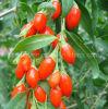Níspero de Ningxia Goji Wolfberry