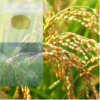 Pó do ácido aminado do fertilizante do pó de 52%