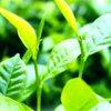 Polvere dell'estratto del tè verde