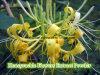 工場自然なHoneysuchleの花のエキスの粉
