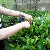 Tè organico di salubrità Tea/Slimming del tè verde di Ningde del tè del tè verde della Cina
