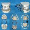 Natürliche Größen-abnehmbare Krankenpflege-Zahn-zahnmedizinisches Anatomie-Modell (28 Zähne)