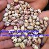 丸型の有機性インゲンマメライト斑入りの腎臓豆