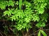 Extracto de Japonicum del Lygodium de la fuente de la fábrica